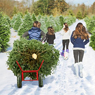 Pick Christmas Trees